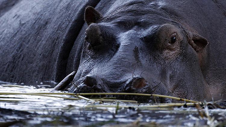 Los hipopótamos asesinos, el peor enemigo de los pescadores africanos