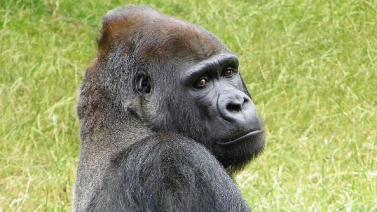 Dramático: ¿Quiso este gorila abatido en un zoo de EE.UU. salvar al niño que cayó a su foso? (VIDEO)