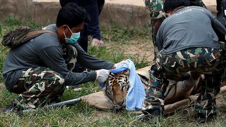 Un tigre sedado siendo tratado por agentes medioambientales en el Templo del Tigre, Tailandia