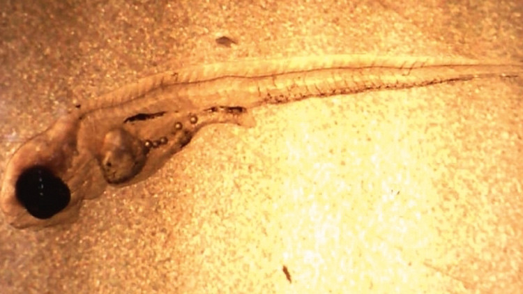 ¿Adictos a la comida basura?: los peces se aburren del plancton y se aficionan al plástico