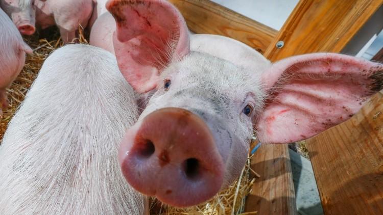 Cultivo de órganos humanos en cerdos, ¿realidad o ciencia ficción?