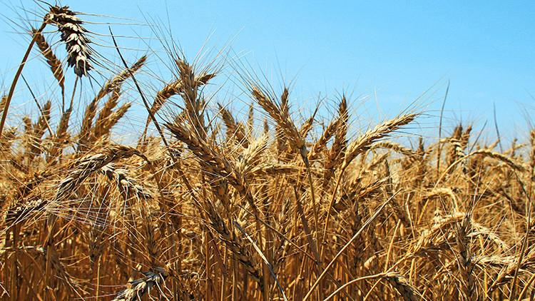 Rusia se convierte en el mayor exportador de trigo del mundo