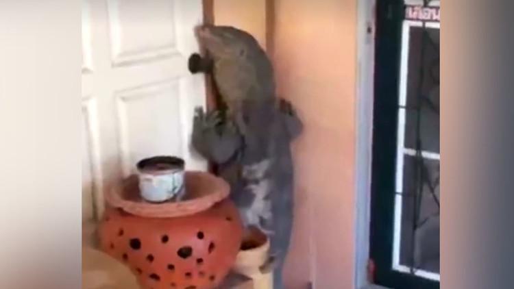Un lagarto gigante se pone a dos patas e intenta entrar en una casa