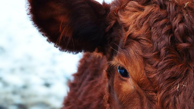 Unos científicos indios encuentran oro en la orina de vaca
