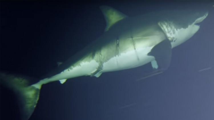 La 'bella durmiente': Filman por primera vez cómo descansa un gran tiburón blanco