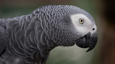 Un loro africano gris