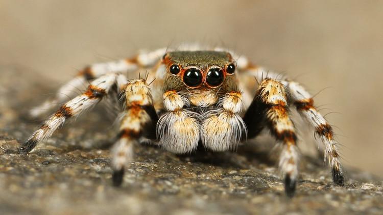 Descubren en Colombia una especie de tarántula que ataca de una manera inesperada