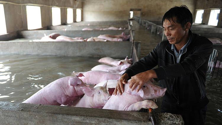 Entre lágrimas: granjero abandona a sus 6.000 cerdos tras las fuertes inundaciones en China (fotos)