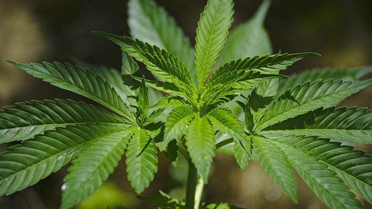 Descubren un nuevo peligro de la marihuana