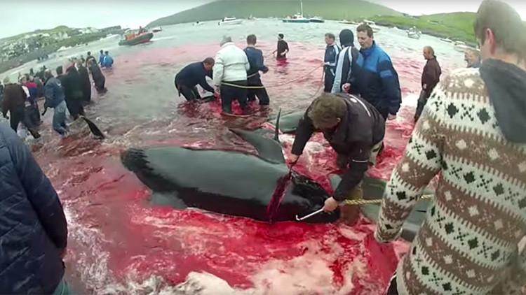 Las aguas del Atlántico Norte se tiñen de sangre en las islas Feroe (FUERTES IMÁGENES)