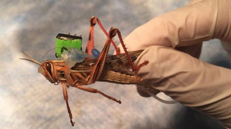 Langostas 'cyborg': El proyecto de los insectos capaces de detectar bombas