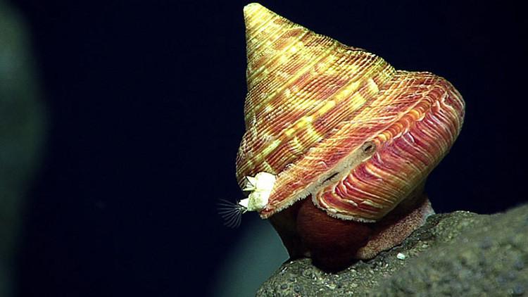 Decenas de extrañas criaturas marinas salen a flote en la fosa de las Marianas (fotos)