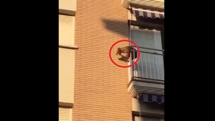 España: Un perro encerrado en un balcón sin agua ni comida cae al vacío al intentar escapar