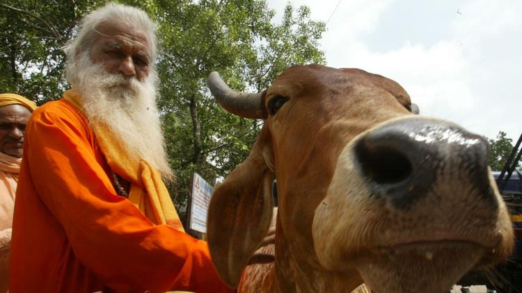 Más cara que la leche: la orina de vaca, un éxito comercial en la India