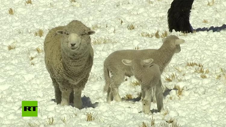 Las heladas son las enemigas letales de los criadores de alpaca de Perú