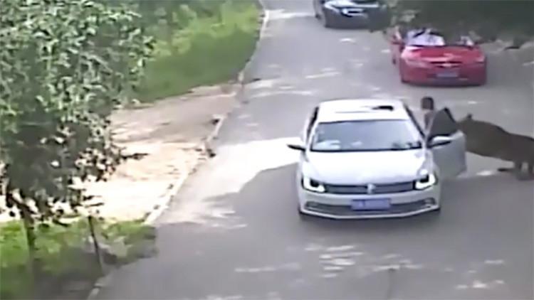 Un tigre mata a una mujer en China delante de toda su familia (FUERTE VIDEO 18+)
