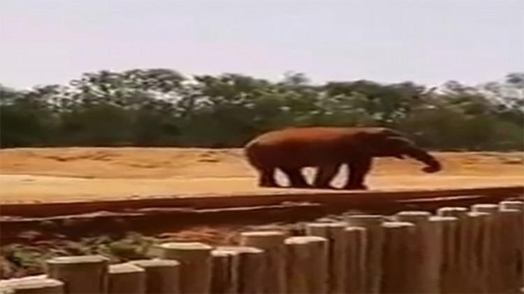 FUERTES IMÁGENES: Un elefante mata a una niña de 7 años lanzándole una roca a la cabeza