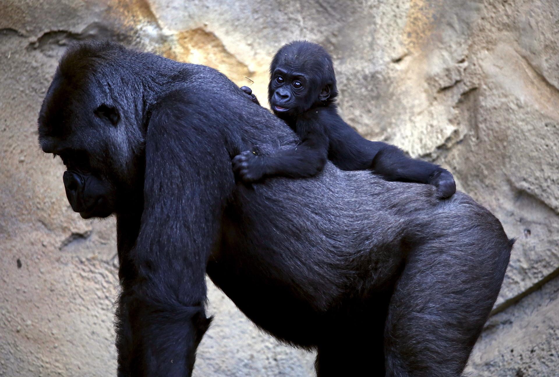 Gorila occidental de las tierras bajas
