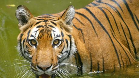 El tigre de Bengala real