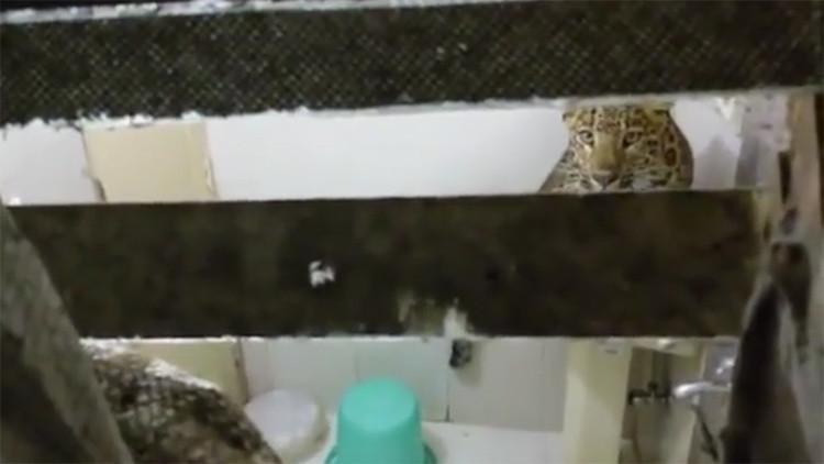 Invitado inesperado: un leopardo entra a la habitación de una pareja en su luna de miel (video)