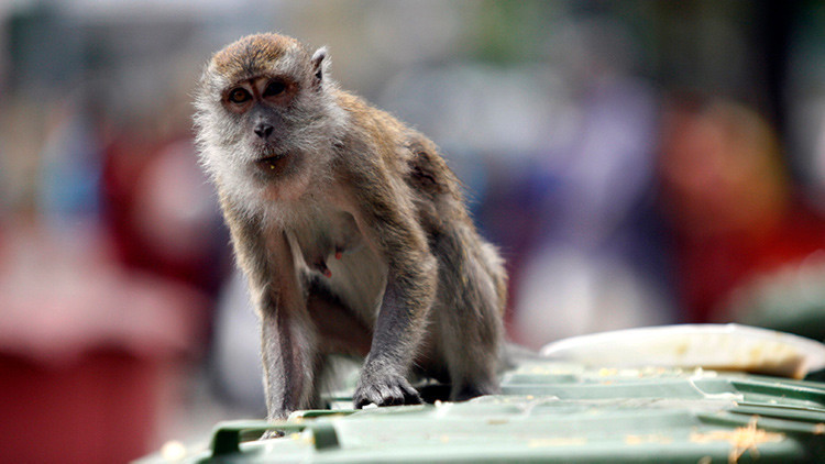 Monos roban varios documentos de una base militar malasia