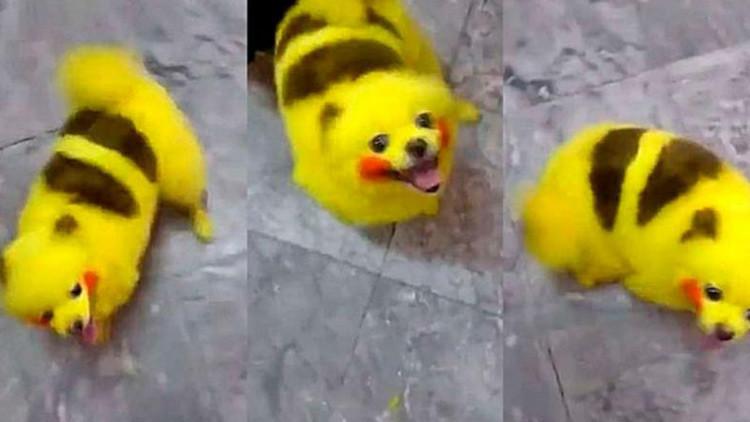 VIDEO: Fanático de Pokémon Go tiñe a su perro para tener su propio Pikachu