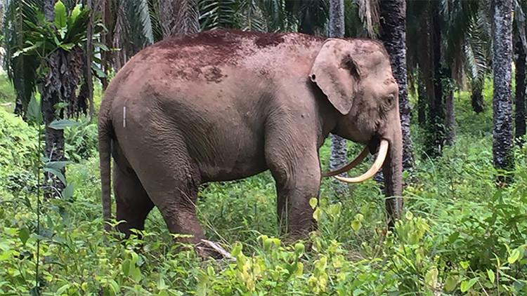Aparece en Malasia un extraño elefante 'dientes de sable' con los colmillos invertidos (Foto)