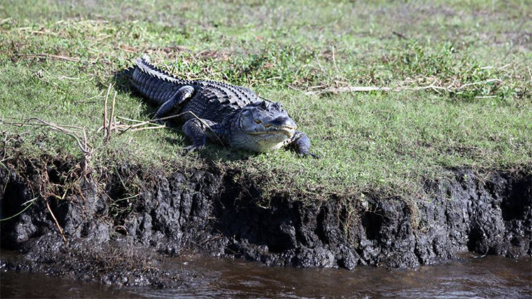 Un caimán le arranca el brazo a una mujer en un muelle en Florida