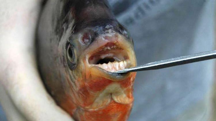 EE.UU.: Hallan pirañas 'vegetarianas' con dientes como los humanos