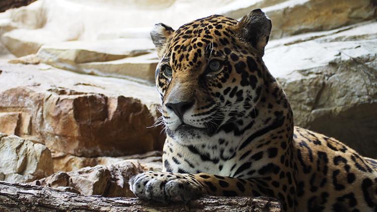¿Una ilusión óptica? Un leopardo camuflado desconcierta a los internautas