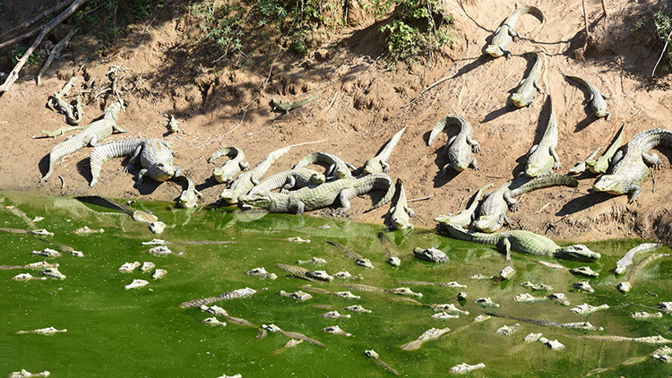 La peor sequía en 19 años deja un cementerio de caimanes en Paraguay (FOTOS)