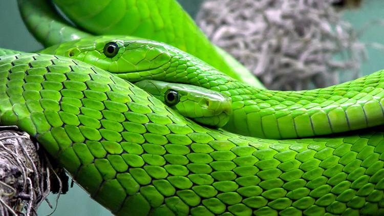 Reino Unido: Una mujer corta la cabeza a sus dos serpientes para comérselas y se libra de la cárcel