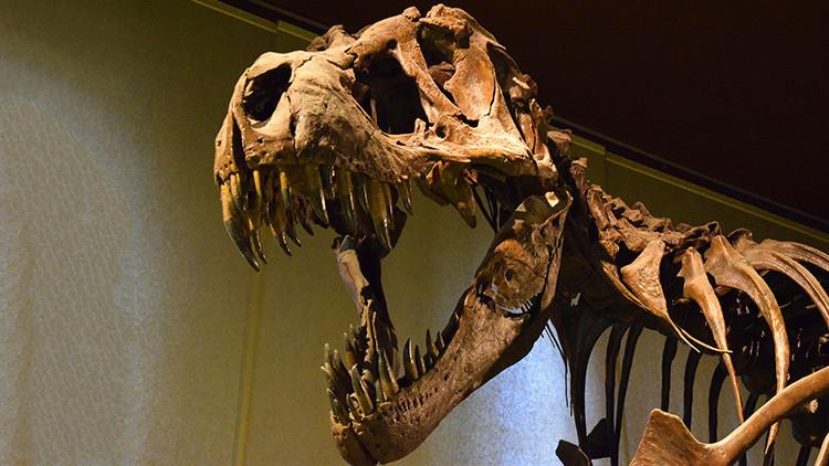 Hallan un enorme cráneo de un tiranosaurio en EE. UU.