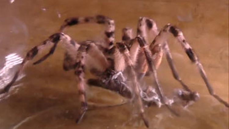 Video: Pánico en un pueblo de Siberia por la llegada masiva de tarántulas