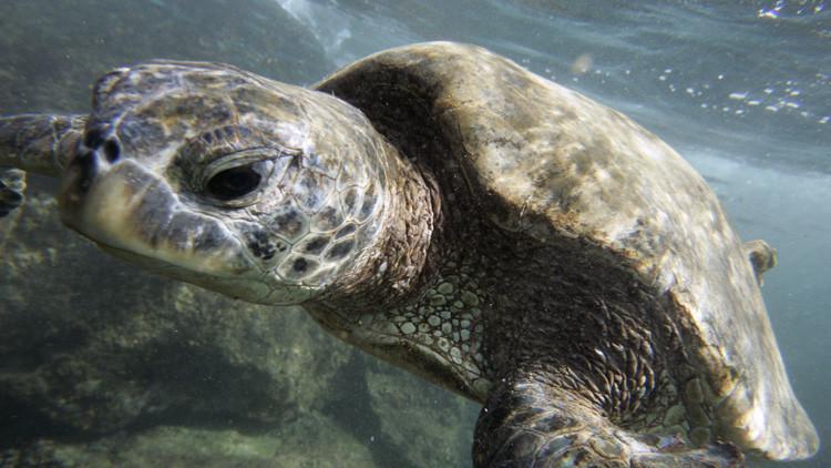 Una tortuga marina verde captada en las costas de Oahu, en Hawái.