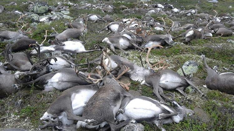 323 renos mueren alcanzados por un rayo en Noruega (FUERTES IMÁGENES)