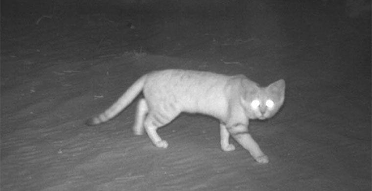 El gato de las arenas de Arabia prefiere cazar por la noche.