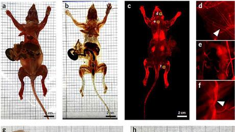 Unos biólogos alemanes crean ratones transparentes e invisibles