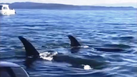 Una foca 'burla' a un grupo de ballenas asesinas