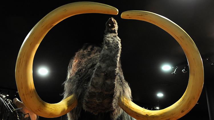 Los mamuts pueden llegar a ser una especie protegida, 4.000 años después de su extinción
