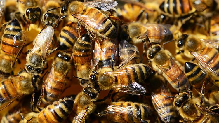 Detectan a los dos enemigos mortales de las abejas reinas