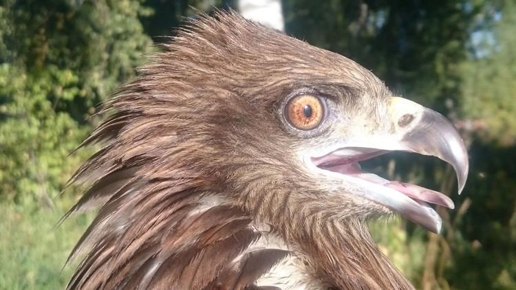 Una abuela rusa alimenta a un halcón herido durante un mes y este es el resultado (Fotos)
