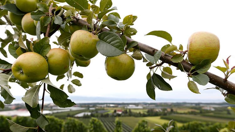 Manzanas mortíferas: forma en que esta fruta puede resultar fatal