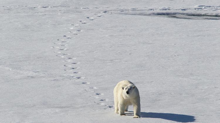 Reabierta una estación meteorológica rusa en el Ártico tras el 'asedio' de osos polares