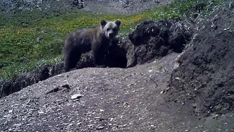 Rusia: Un oso que se creía extinto aparece en un video grabado en Altái