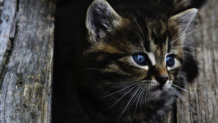 """""""Tiernos asesinos"""": ¿Por qué los gatos son un peligro para el planeta?"""