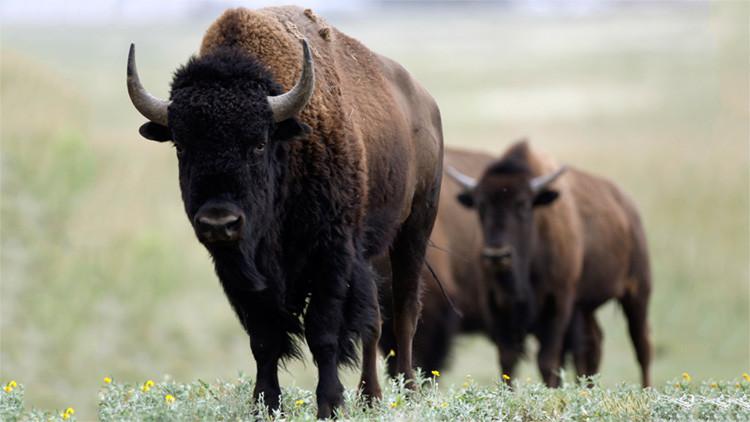 El misterio de los bisontes decapitados en España