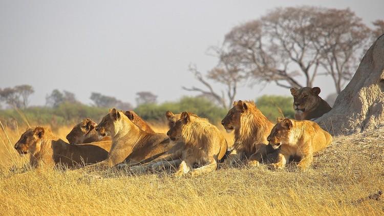 Algo raro pasa en la sabana: ¿Las leonas 'cambian de sexo'?