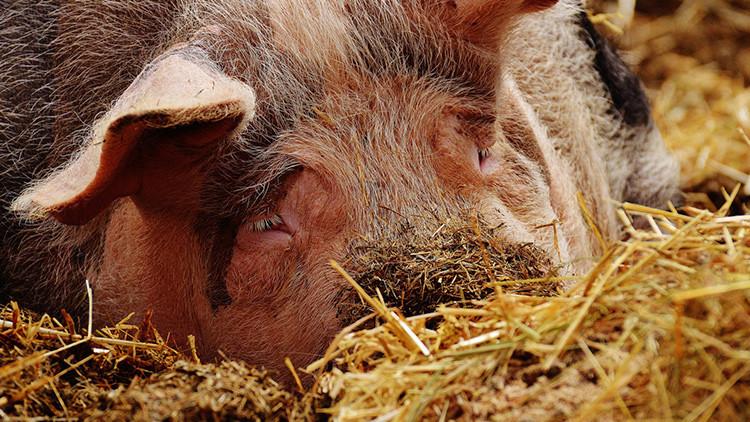 FUERTES IMÁGENES: A juicio por maltratar cerdos en una granja española