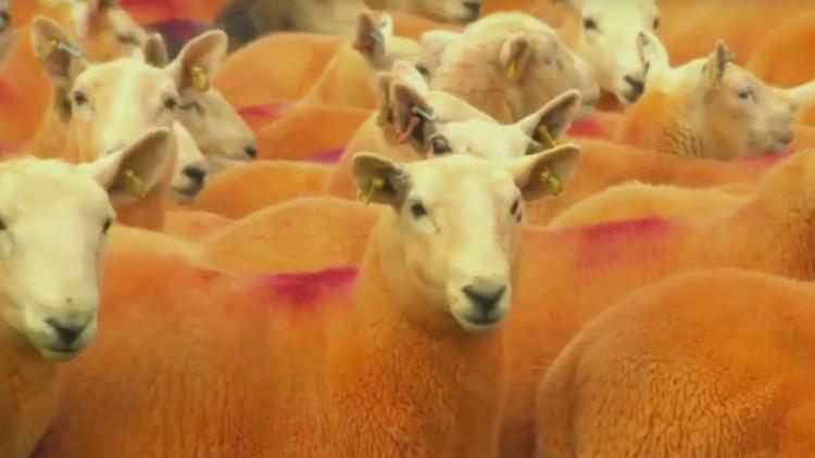 ¿Por qué este granjero pintó todas sus ovejas de color naranja?